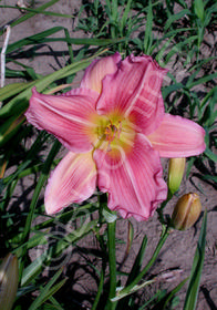 Hemerocallis 'School Girl'