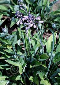 Hosta fortunei 'Hyacinthina'