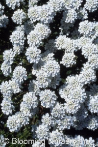 Iberis sempervirens 'Alexander's White'