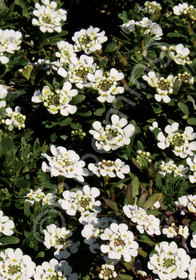 Iberis sempervirens 'Kingwood Compact'
