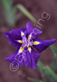 Iris ensata 'Royal Banner'