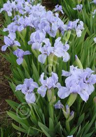 Iris pumila 'Blue Denim'