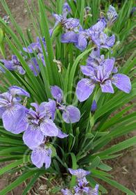 Iris setosa 'Nana'