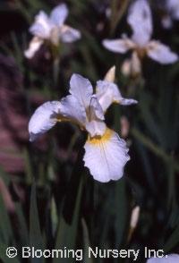 Iris sibirica 'Snow Queen'