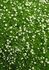 Salvia subulata