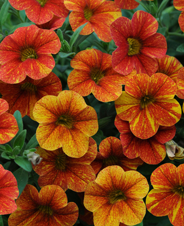 Calibrachoa Can Can Terra Cotta