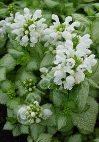 Lamium maculatum 'White Nancy'