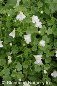 Linaria lobatus
