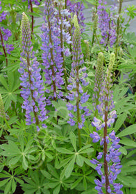 Lupinus Russell Hybrids 'The Governor'