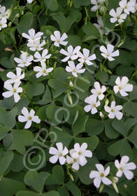 Oxalis crassipes 'Alba'