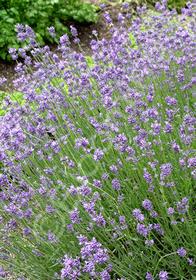 Lavandula angustifolia 'Premier'