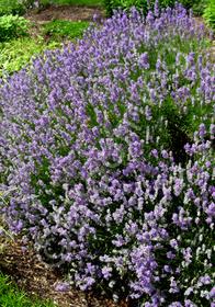 Lavandula angustifolia 'Martha Roderick'