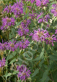 Monarda didyma 'Prairie Night'