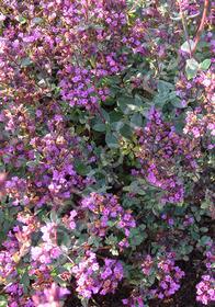 Origanum laevigatum 'Hopley's Purple'