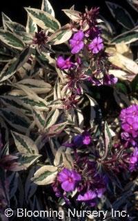 Phlox paniculata 'Harlequin'