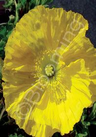Papaver nudicaule 'Wonderland Yellow'