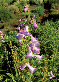 Penstemon x campanulatus 'Lady Alice Hindley'