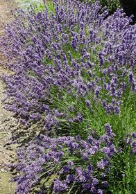 Lavandula angustifolia 'Purple Bouquet'