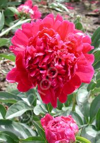 Paeonia lactiflora hybrids 'President Roosevelt'