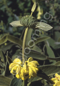 Phlomis x fruticosa 'Edward Bowles'
