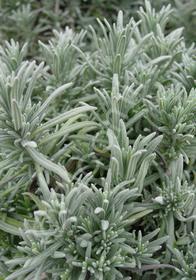 Lavandula angustifolia 'Maillette'