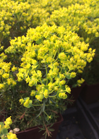 Euphorbia cyparissias 'Fen's Ruby'