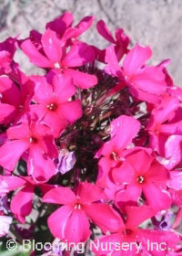 Phlox paniculata 'Brigadier'