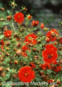 Potentilla atrosanguinea 'Gibson's Scarlet'