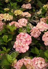 Hydrangea macrophylla var. serrata 'Preziosa'