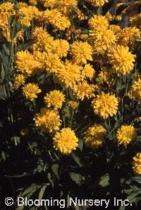 Rudbeckia laciniata 'Gold Drop'