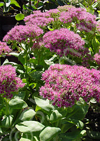 Sedum spectabile 'Brilliant'