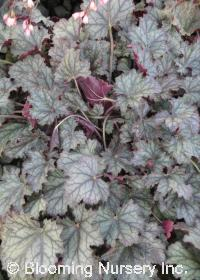 Heuchera 'Raspberry Ice'