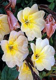 Oenothera longifolia 'Lemon Sunset'
