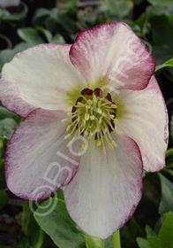 Helleborus x hybridus 'Mardi Gras Picotee Pink'