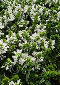 Stachys densiflora 'Alba'