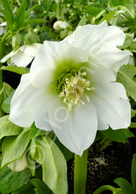 Helleborus x hybridus 'Mardi Gras White'
