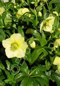 Helleborus x hybridus 'Mardi Gras Yellow'