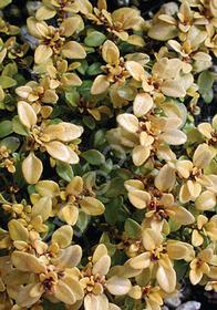 Thymus x citriodorus 'Archer's Gold'