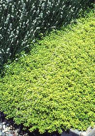 Thymus serpyllum aureum 'Gold Transparent'