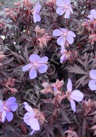 Geranium pratense 'Midnight Reiter'