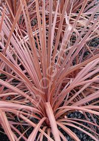 Cordyline australis 'Mahogany'
