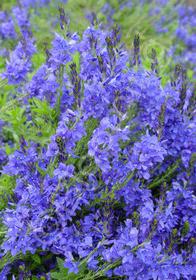 Veronica austriaca 'Crater Lake Blue'