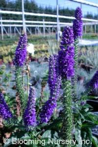 Veronica longifolia ssp subsilis 'Sunny Border Blue'