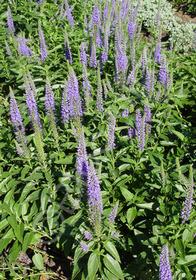 Veronica spicata 'Blue Charm'