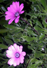 Osteospermum 'Wildside'