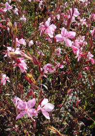 Gaura 'Pink Fountains'