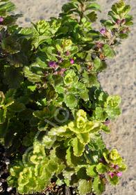 Teucrium chamaedrys 'Summer Sunshine'