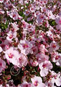 Diascia x hybrida 'Pinkie'