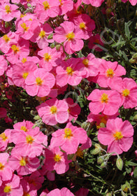Helianthemum 'Belgravia Rose'