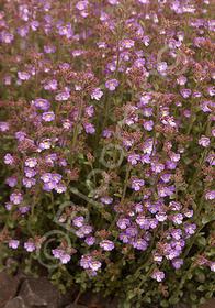 Chaenorrhinum origanifolium 'Summer Skies'